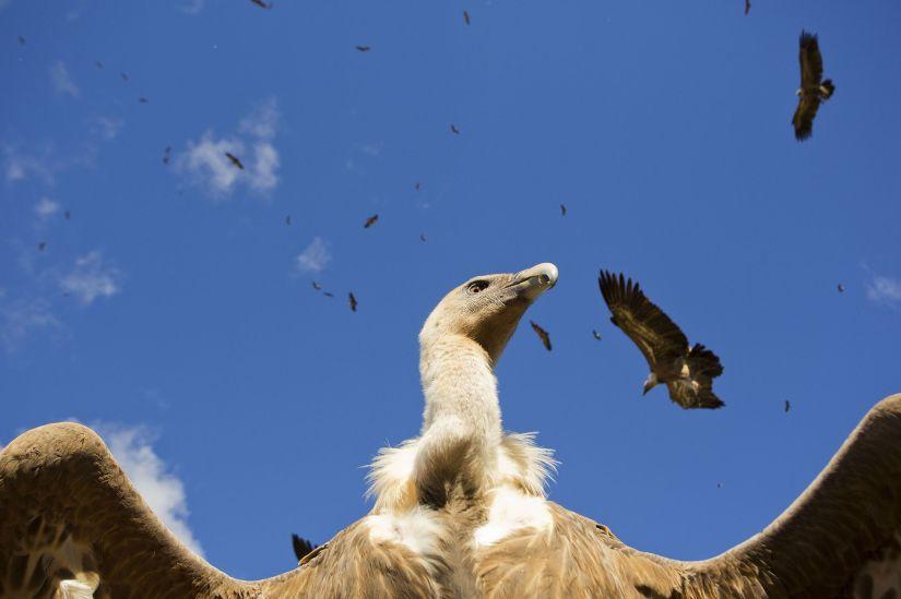 Aves-de-España-Sobre-la-carroña-Uge-Fuertes-Sanz