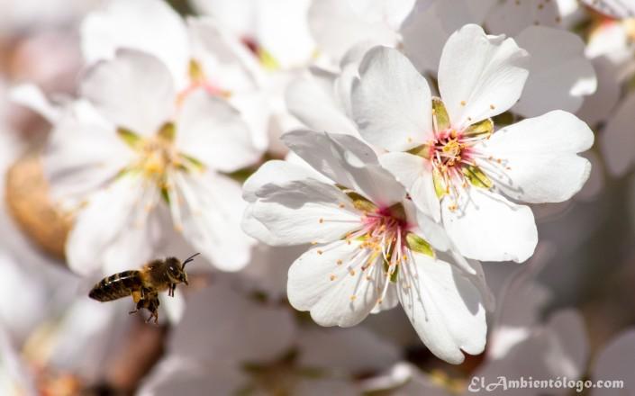 Apis mellifera y flores del Almendro