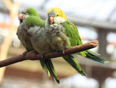 Cotorra argentina especie exótica invasora
