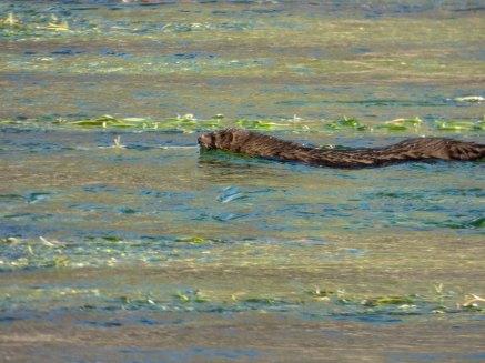 Visón americano (Neovison vison) observado en el río Tormes a su paso por Salamanca.