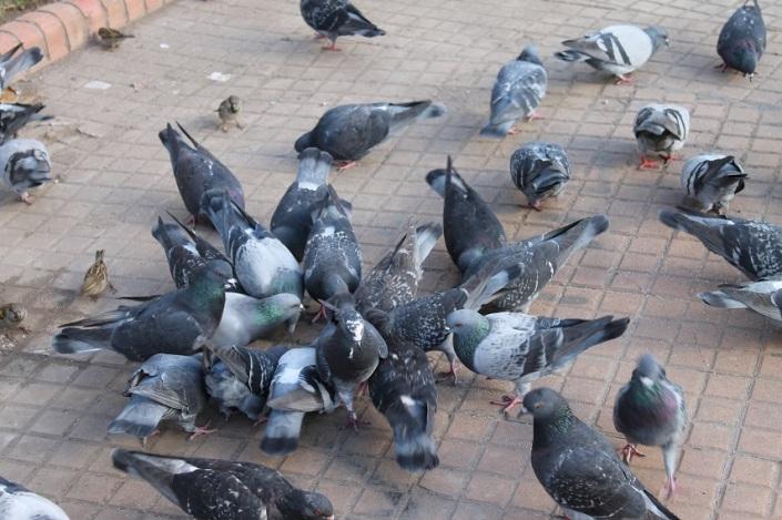 palomas_de_la_plaza_de_mayo